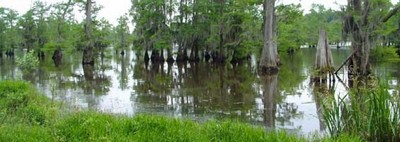 Shallow flooded cypress trees
