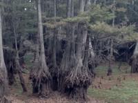 Cypress tree Bisteneau