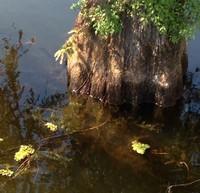 Campti Cypress Tree